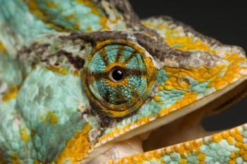 A veiled chameleon (Chamaeleo calyptratus) at the Rolling Hills zoo.