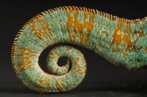 Ex=Pat Skills: Like A veiled chameleon (Chamaeleo calyptratus) at the Rolling Hills zoo.