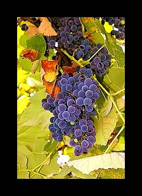 Azerbaijan Black Grapes: How Would You Rate Wine Around The World?