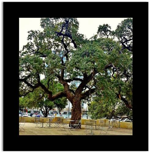 A Photo of a Live Oak Tree in an Austin Park downtown