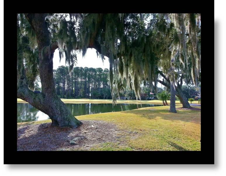Carolina Oak with Spanish Moss;