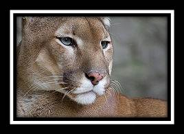 cougar, puma, mountain lion, catamount: many names for endangered big cat wildlife