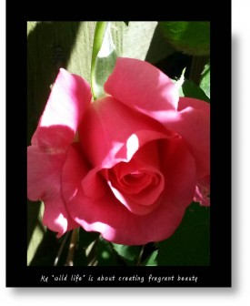 My kind of wildlife: Roses; a photo of a single pink rosebud.