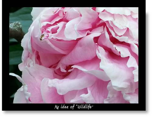 Peony photo with ant as wildlife