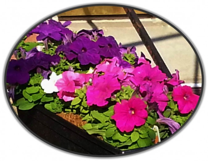 Petunia flower box; bright colors attract smiles. Neighbors care for flower boxes to help each other during illness.