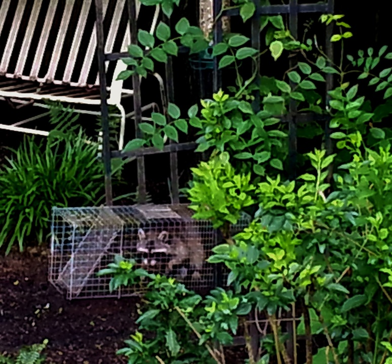 Raccoon ready to be relocated- Havahart humane cage photo with raccoon safely caught.
